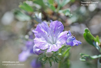 Threadleaf Phacelia, Narrow Leaved Phacelia, Carson's Phacelia, Threadleaf Scorpionweed - Phacelia linearis