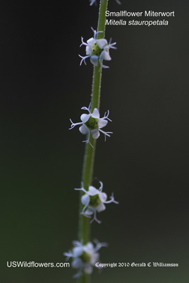 Smallflower Miterwort, Side-flowered miterwort - Mitella stauropetala